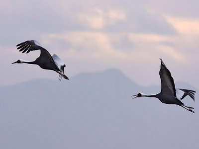 White-naped cranes flying above the DMZ.