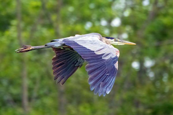 Great Blue Heron in Flight thumbnail