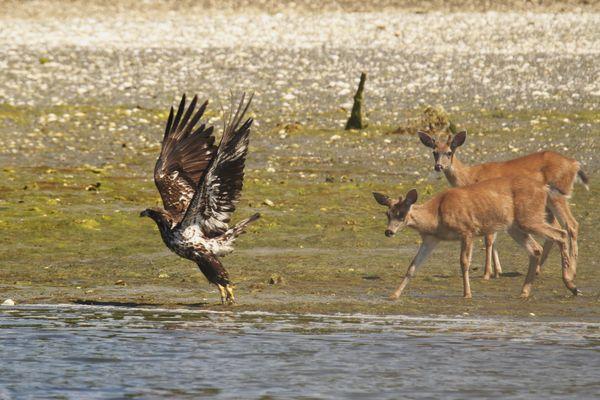 Deer vs. Eagle thumbnail