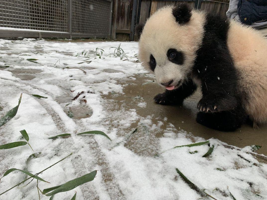 Giant panda cub Xiao Qi Ji takes his first steps in snow