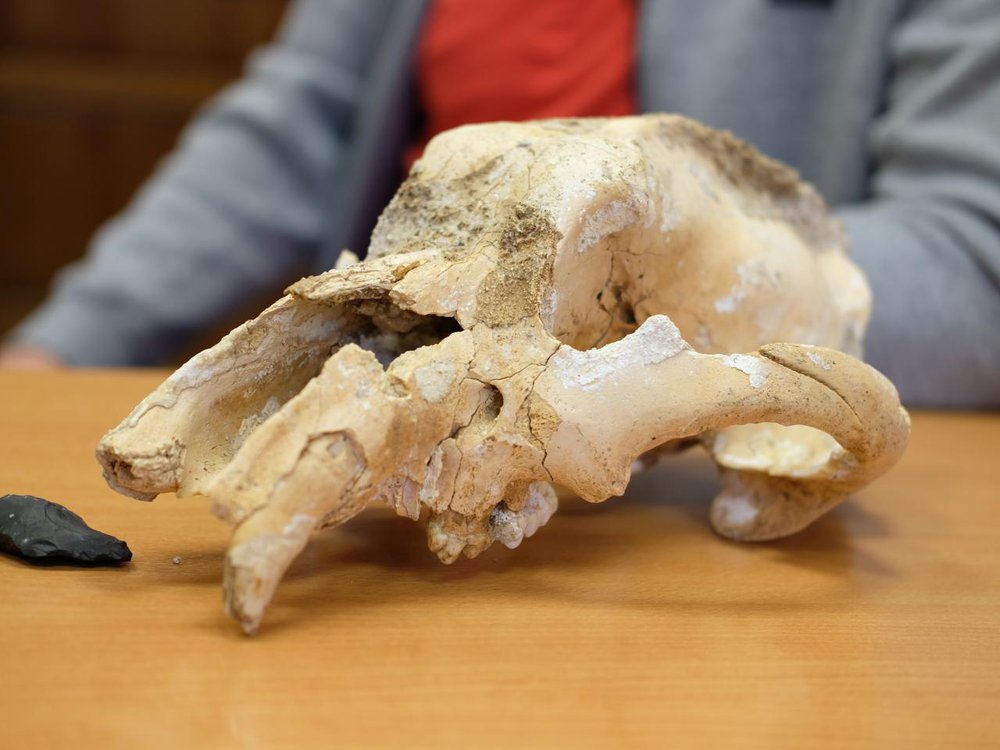 A skull of a small cave bear resting on a wooden table