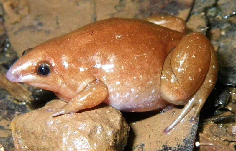 The zombie frog is orange with an almost beak-like nose