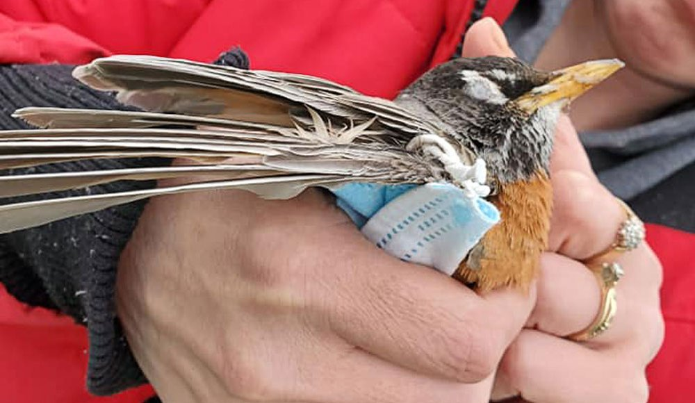 An image of a person holding an American Robin in their hands. The bird has a mask wrapped around its wing.