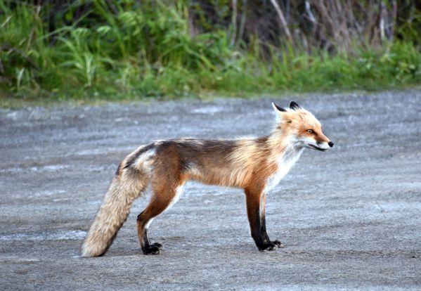 Fox at Sunset thumbnail