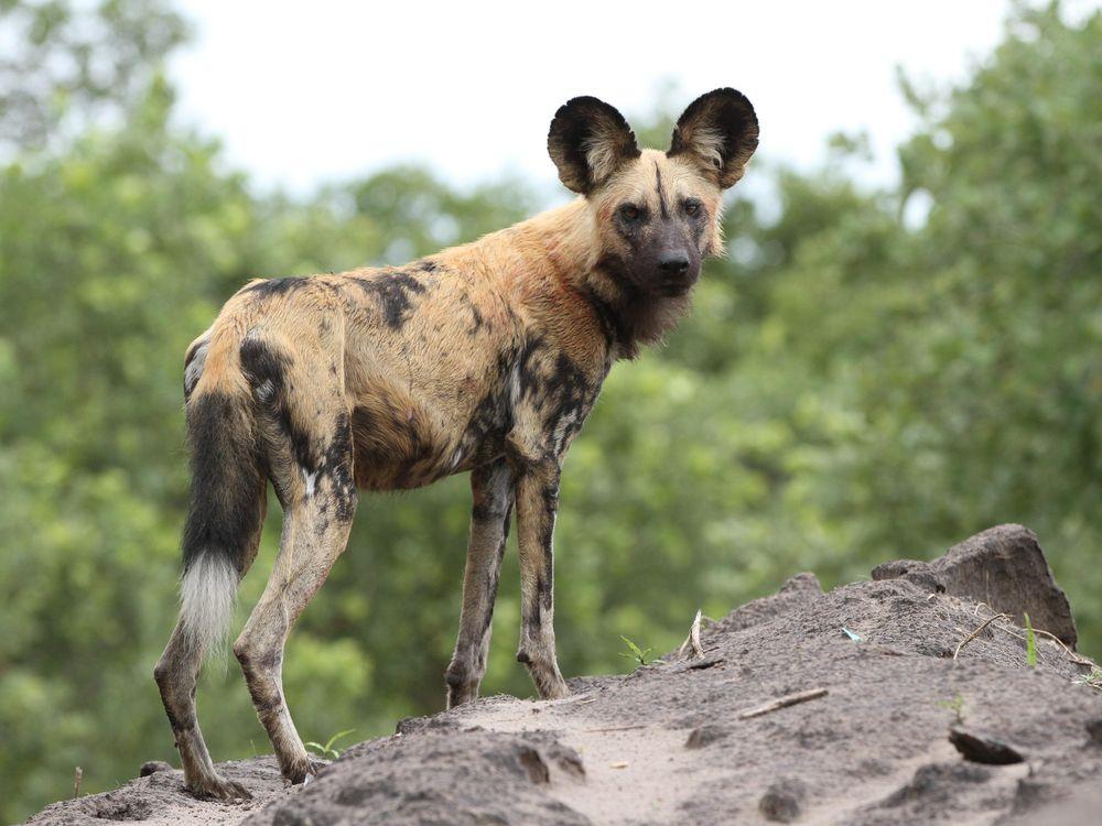 African_painted_dog,_or_African_wild_dog,_Lycaon_pictus_at_Savuti,_Chobe_National_Park,_Botswana._(32318493420).jpg