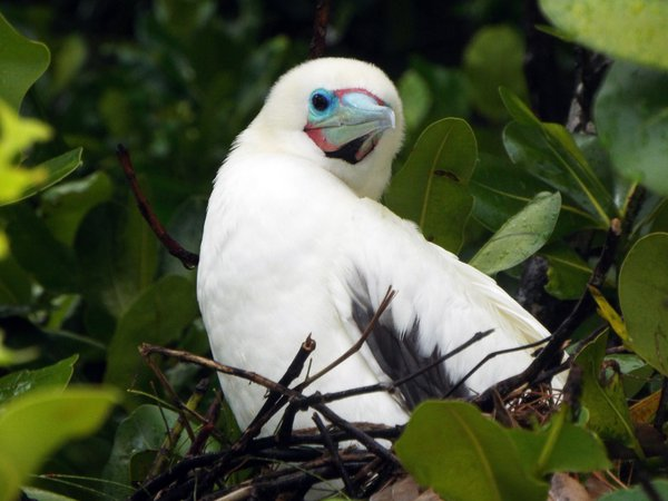 Red-Footed Booby on Nest thumbnail