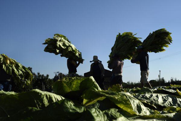 Tobacco craftsmen in Extremadura thumbnail