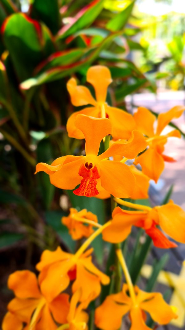 Orange Orchids in the Sun thumbnail