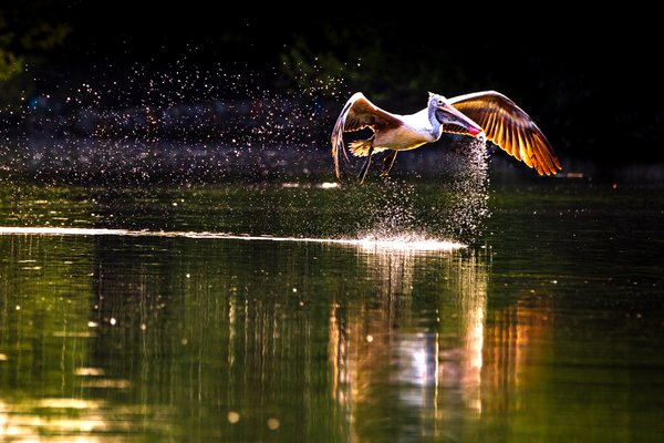 Pelican Drinking Water thumbnail