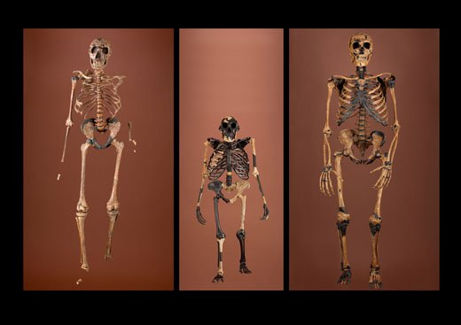 24_skeletons_erectus_afarensis_neanderthalensis1.jpg