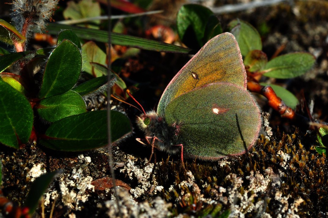 Greenland's Butterflies Are Shrinking as Temperatures Rise