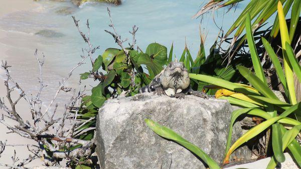 Tulum, Mexico - iguana  thumbnail