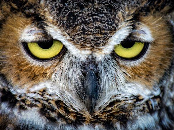 Owl Eyes thumbnail