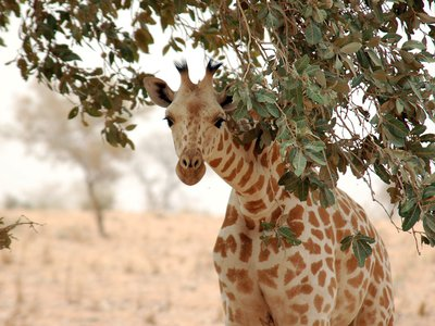 If listed under the Endangered Species Act, giraffes would become eligible for federal funding aimed at conservation, and limits would be placed on the import of the animal's body parts
