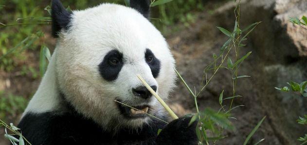 Panda-hero.jpg