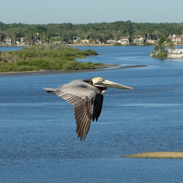 Brown Pelican from Balcony thumbnail