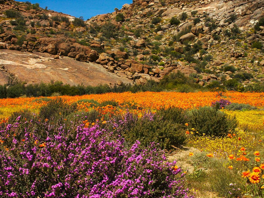 Desert Bloom in Namaqualand, South Africa