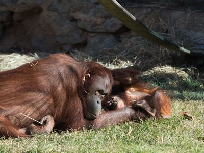 Orangutan mother Batang and infant Redd at the Smithsonian's National Zoo.