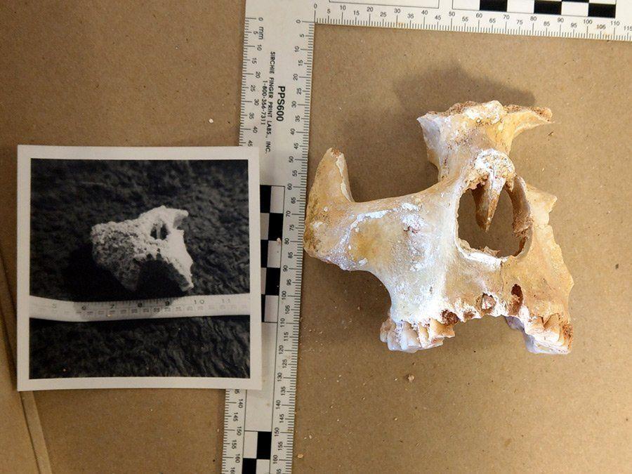 Cannington Bones