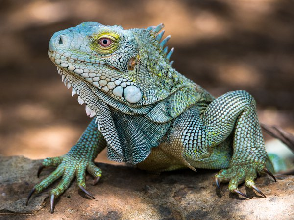 A green iguana (Iguana iguana) enjoying the sun on Bonaire. thumbnail