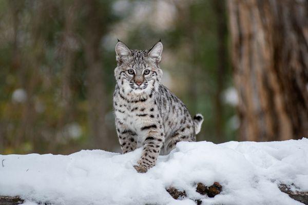Bobcat kitten spots me thumbnail