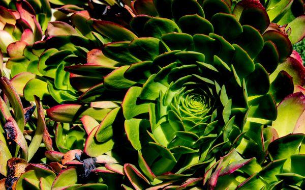 whirlpool plant thumbnail