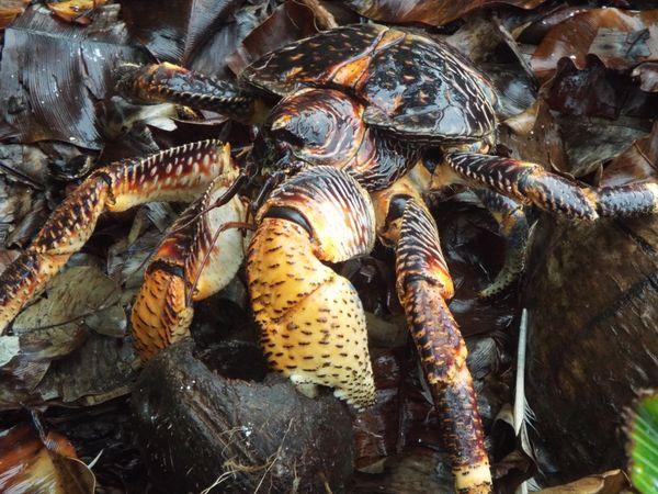 Coconut Crab Eating Coconut thumbnail