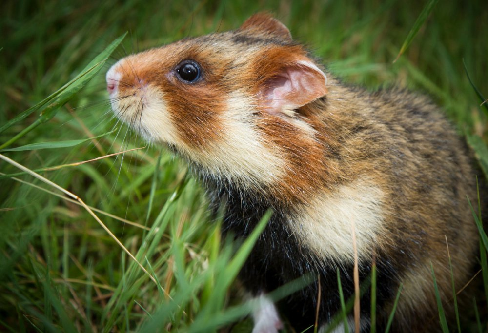 Hamsters are nearsighted and colorblind