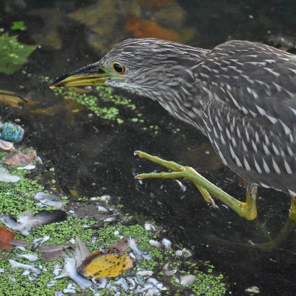 A night heron wading in the lake thumbnail