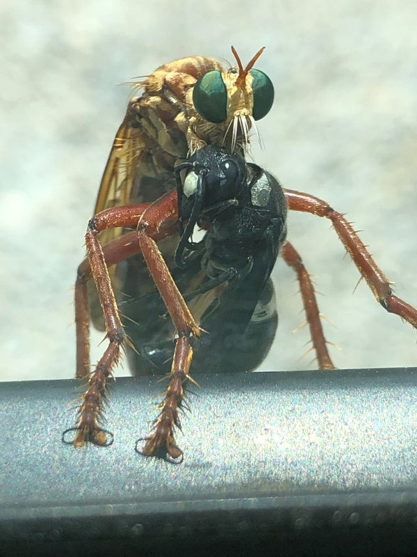 Caught in the clutches of a Wasp. thumbnail