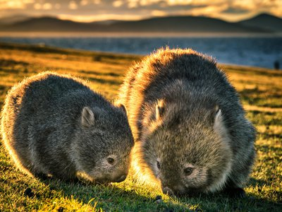 Baby wombat and mother on Maria Island.