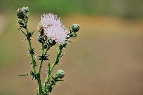 Purple Thistle thumbnail