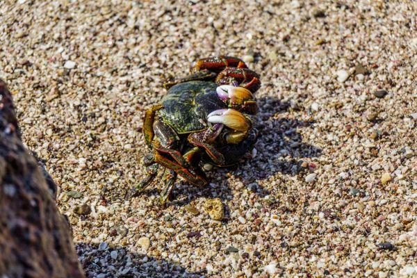 Crab thumbnail