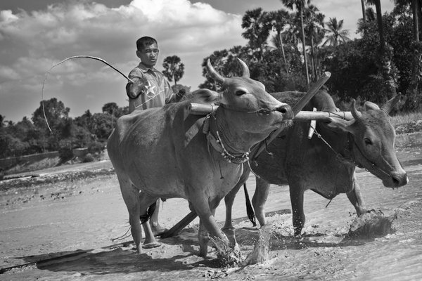 Chea Van Chun lost both hands in a land mine explosion. Water buffalo help prep his land for rice planting. thumbnail