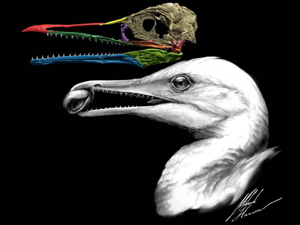 Ichthyornis dispar.jpg