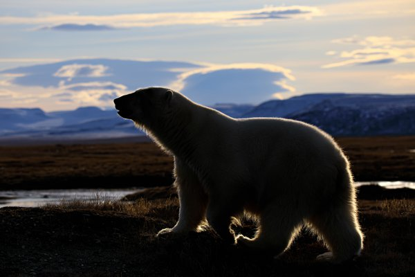 Sunset polar bear thumbnail