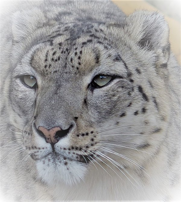 """Cool Cat"" from the Big Cat Sanctuary thumbnail"