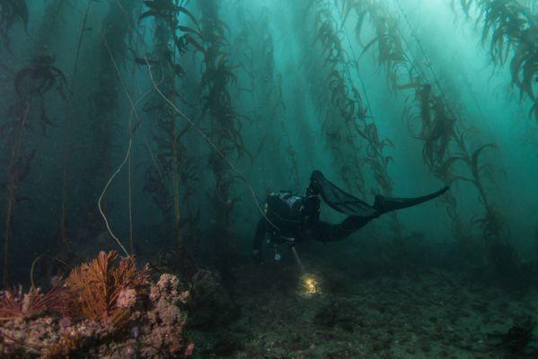 Diver searches Kelp Forrest thumbnail