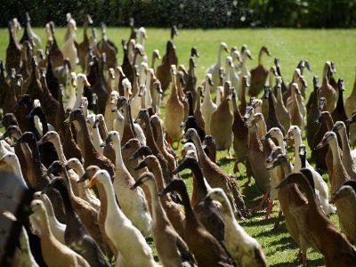 Vergenoegd Löw Wine Estate's Indian runner ducks, which patrol the vineyard for pests