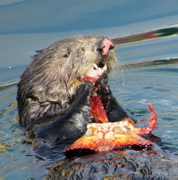 Monterey sea otter eating red crab for lunch thumbnail