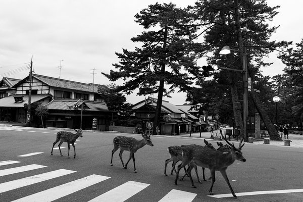 Deer Crossing in Nara thumbnail
