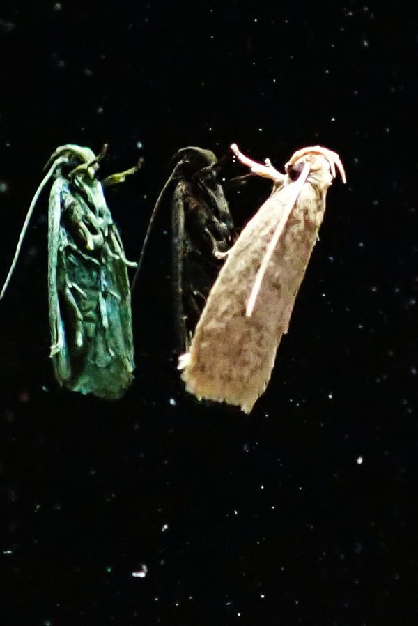 3 Wise Moths thumbnail
