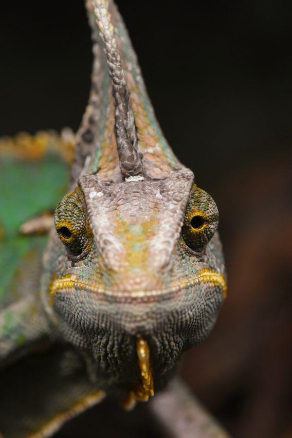 Chameleon up close thumbnail