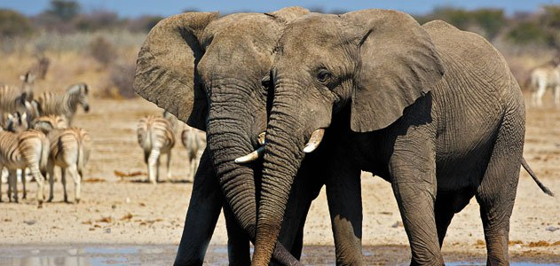 Elephants at Etosha National Park