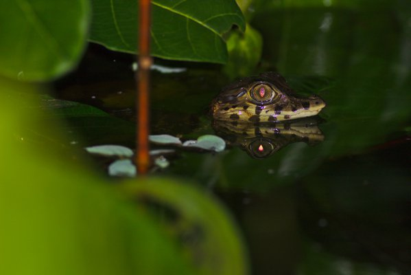 A baby black caiman hiding in the brush thumbnail