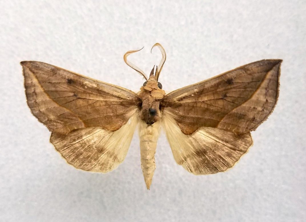 Preserved brown and beige vampite moth on white background