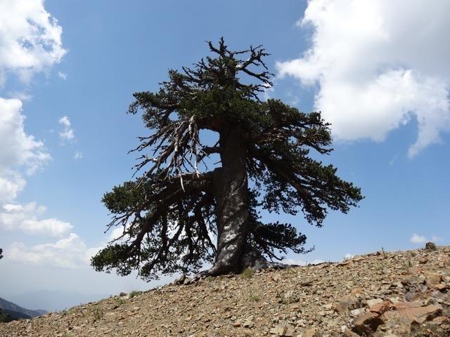 Adonis Tree