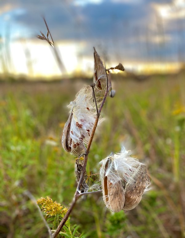 Milkweed Pods Release Their Seeds thumbnail