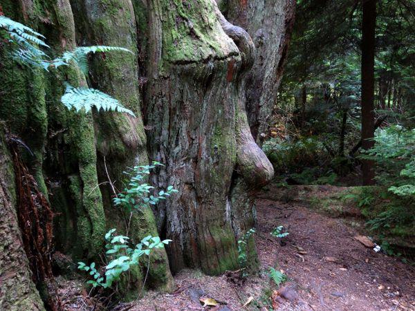 Face In The Tree Bark thumbnail