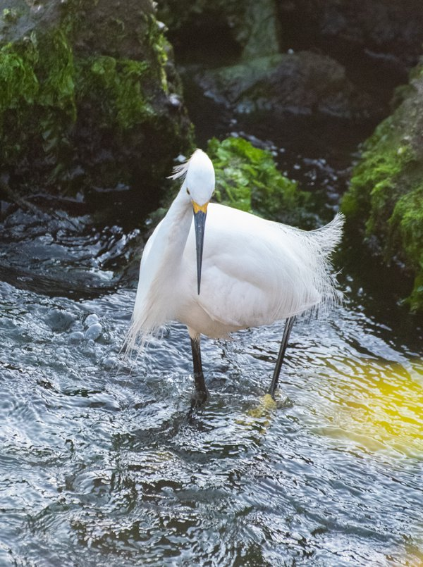 Snowy Egret Goes Fishing thumbnail